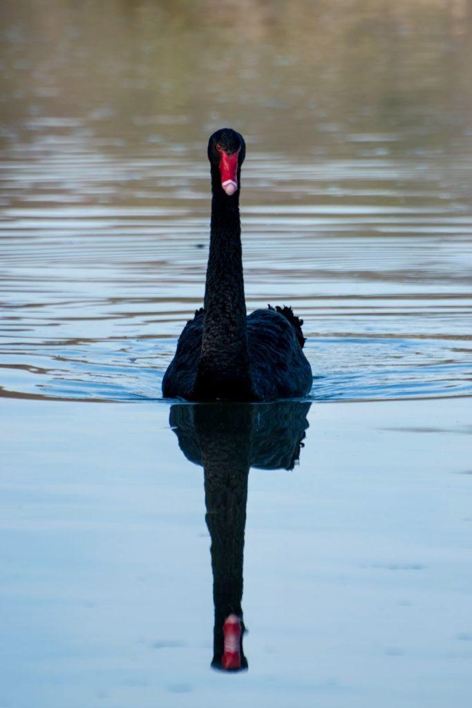 Foto van een zwarte zwaan in het water