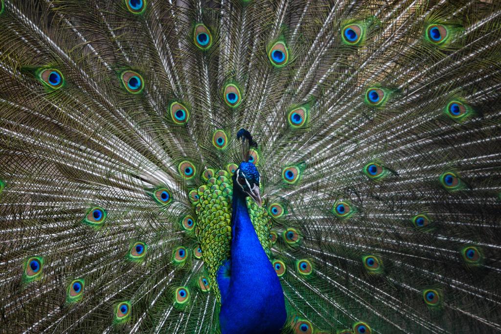 Foto van een pauw die trots zijn staartveren toont