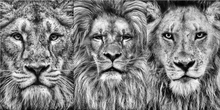 Leeuwenportretten van Grégory Herpe