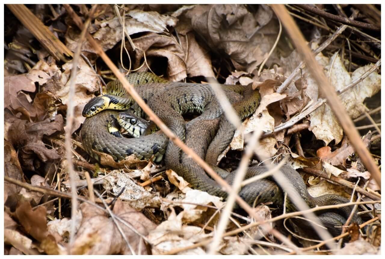 Ringslangen in de struiken