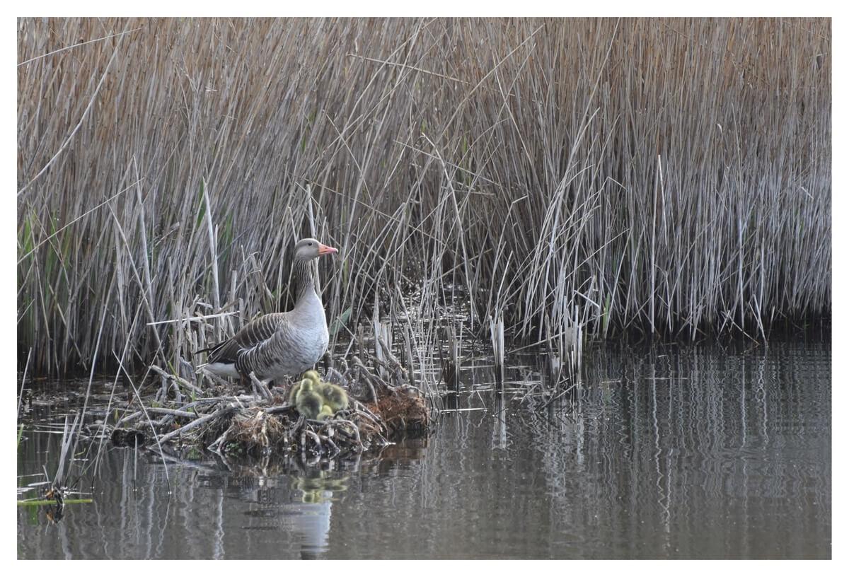 Grauwe gans op nest met jonge gansjes voor een rietkraag