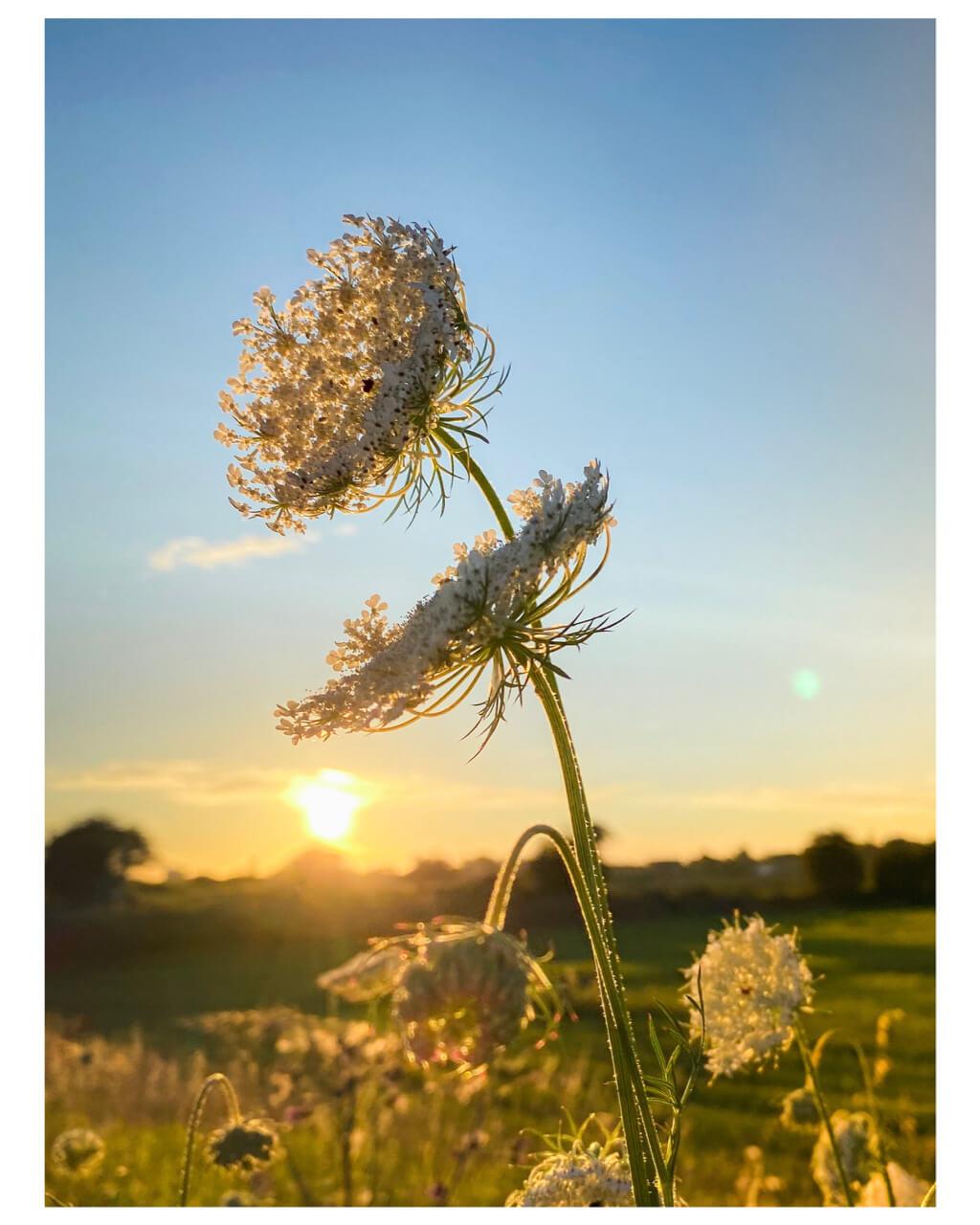 Wilde peenplant bij zonsondergang