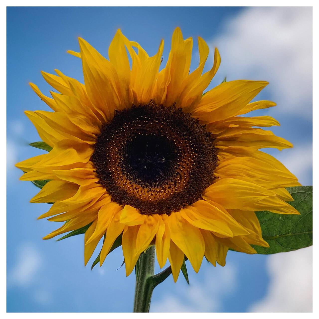 Zonnebloem met blauwe lucht op de achtergrond